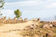 Wild lebende Tiere Buck Rocky Hillside Stockfoto