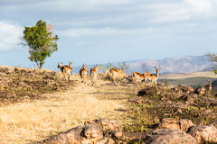 Wild lebende Tiere Buck Rocky Hillside Lizenzfreie Stockbilder