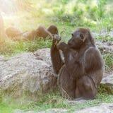 Wild lebende Tiere, Gorillatiere Lizenzfreie Stockfotos