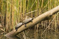 Wild lebende Tiere im Fluss Lizenzfreie Stockfotos