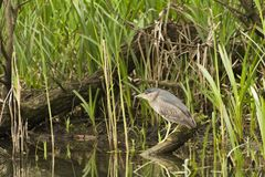 Wild lebende Tiere im Fluss Lizenzfreies Stockfoto