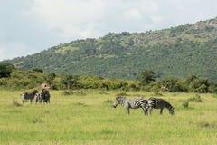 Wild lebende Tiere in Maasai Mara, Kenia Stockbilder