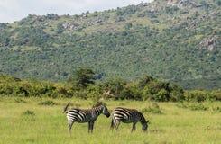 Wild lebende Tiere in Maasai Mara, Kenia Lizenzfreies Stockbild