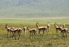 Wild lebende Tiere in Ngorongoro Carter, Tansania Lizenzfreies Stockfoto