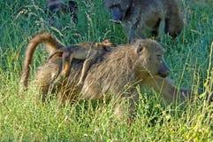 Wild lebende Tiere: Pavianmutter und -kind Lizenzfreies Stockbild