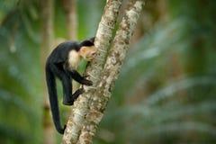 Wild lebende Tiere von Costa Rica Reisefeiertag in Mittelamerika Weiß-köpfiger Capuchin, schwarzer Affe, der auf Baumast in der D Lizenzfreie Stockbilder