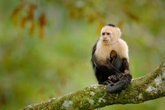 Wild lebende Tiere von Costa Rica Reisefeiertag in Mittelamerika Weiß-köpfiger Capuchin, schwarzer Affe, der auf Baumast in der D Stockfoto