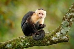 Wild lebende Tiere von Costa Rica Reisefeiertag in Mittelamerika Weiß-köpfiger Capuchin, schwarzer Affe, der auf Baumast in der D Stockfotografie