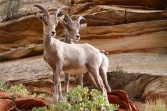 Wild lebende Tiere in Zion Lizenzfreie Stockbilder