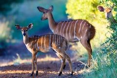 Wild lebende TiereNyala sträubt sich Warnung   stockbilder