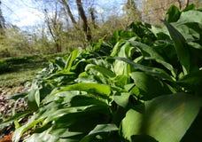 Wild leek , Allium ursinum – known as ramsons Royalty Free Stock Photos