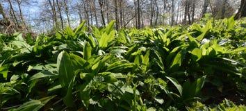 Wild leek , Allium ursinum – known as ramsons Stock Images