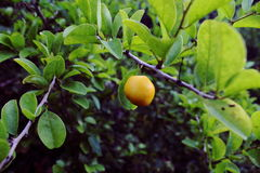 Wild lemon tree Stock Photography