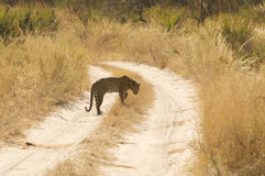 Wild Leopard Stock Images