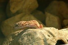 A wild Leopard Gecko. A wild reptil Leopard Gecko royalty free stock photo