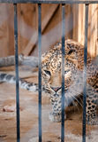 Wild leopard incarcerated in a cell Stock Photo