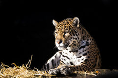 Wild leopard lying relaxed Stock Image