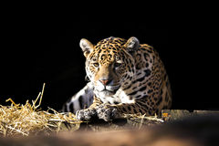 Wild leopard lying relaxed Stock Photo