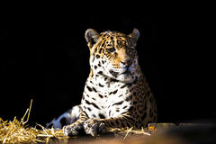 Wild leopard lying relaxed Royalty Free Stock Image