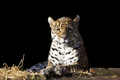 Wild leopard lying relaxed Royalty Free Stock Images