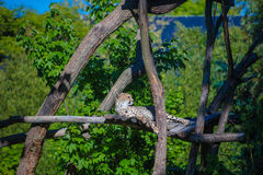Wild leopard lying in wait atop a tree stock images