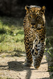 Wild leopard on a morning walk. Leopard on a morning walk with attitude Stock Photography