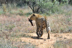 Wild leopard, Namibia, Africa Stock Image