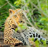 Wild leopard portrait Stock Photos