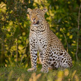 Wild Leopard Portrait Stock Photography