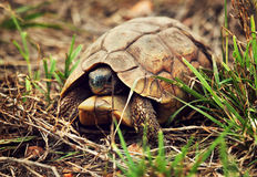 Wild Leopard tortoise close up, Tanzania Africa Royalty Free Stock Photography
