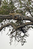 Leopard in tree Royalty Free Stock Images