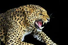 Wild Leopard Stock Photos