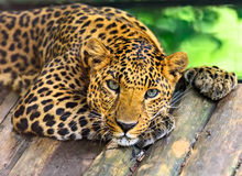 Wild Leopard Royalty Free Stock Images