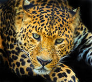 Wild Leopard Stock Photography