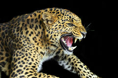 Wild Leopard Stock Photo