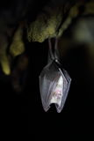Wild lesser horseshoe bat hanging upside down