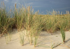 Wild leymus plant on sand dune prevents sand flight Stock Image