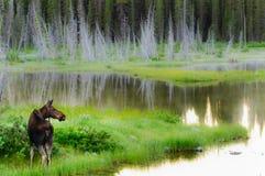 wild älg Fotografering för Bildbyråer