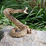 Angry coiled rattle snake on rock Stock Photography
