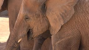 An adult elephant eating stock video footage