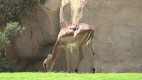 A deer wild animals. Wild life animals in nature stock video footage