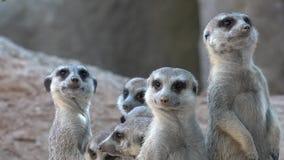 Meerkat family wild animals