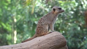 A meerkat wild animals. Wild life animals in nature stock video