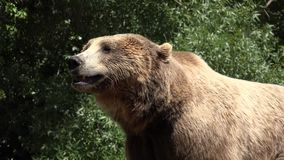 Two brown bears wild animals. Wild life animals in nature stock footage