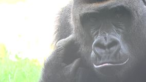 An ugly wild gorilla stock footage