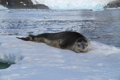 Leopard Seal Antarctica. Leopard Seal sleeping on an ice floe with a glacier terminus in the background Royalty Free Stock Photos