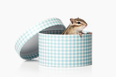 Wild life. Chipmunk isolated on white background Royalty Free Stock Images