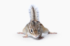 Wild life. Chipmunk isolated on white background Stock Photos