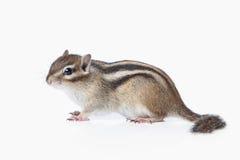 Wild life. Chipmunk isolated on white background Stock Images