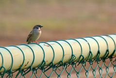 A small Asia local bird sitting on a green metal fence at the park with green nature background. Wild life in the city park area royalty free stock images